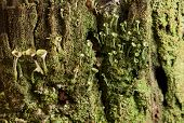 stock photo of lichenes  - Macro of green and grey lichen colony on bark - JPG
