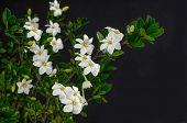 pic of gardenia  -  branches gardenia on black background - JPG