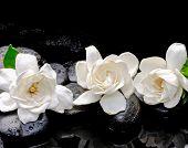 stock photo of gardenia  - Still life with three gardenia on black pebbles  - JPG