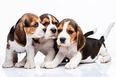 image of puppy beagle  - The three beagle puppies lying on the white background - JPG