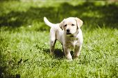 picture of golden retriever puppy  - cute little golden retriever puppy - JPG