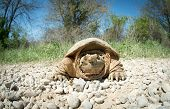picture of mud  - Common snapping turtle covered in dried mud crossing a country gravel road - JPG