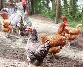 stock photo of poultry  - Flock of chickens walking to poultry farm - JPG