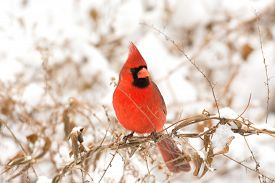 stock photo of cardinal-bird  - Male northern cardinal perched on a branch following a winter storm - JPG